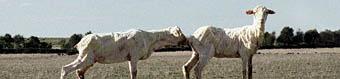 Nicola Loder, Sheep, the road to Maryborough (detail)