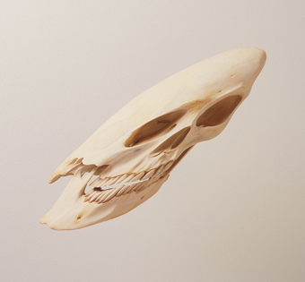 Skull, 2000, Robert Lazzarini resin, bone, pigment