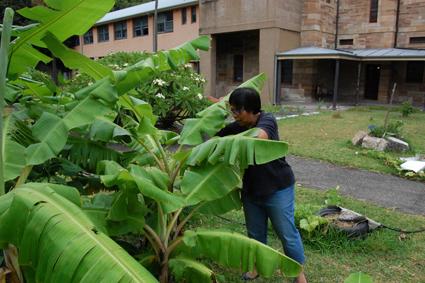Betty harvesting some banana leaf, Tending