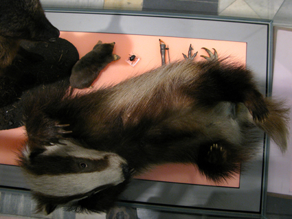 The taxidermied badger cub at Kelvingrove Museum (the badger is the UK's largest native carnivorous land mammal)