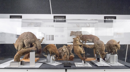 Taxidermied possums
